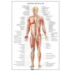 Lamina plastificada Sistema muscular A4