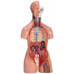 Modelo anatómico de torso (40 partes, 85 cm)