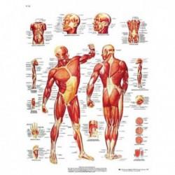 Lamina La Musculatura Humana