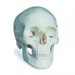 Cráneo Clásico 3 Partes