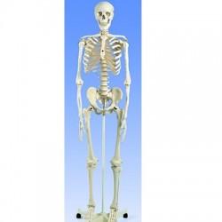 Esqueleto Estándar 180 Cm.