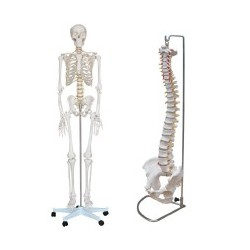 PACK Esqueleto tamaño natural + Columna con pelvis