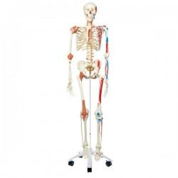 Esqueleto Sam A13, versión de lujo, montado sobre pie metálico de 5 ruedas. - 3B Smart Anatomy