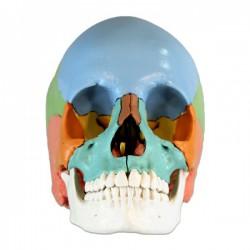 Cráneo Desmontable 3B Scientific - 22 piezas - versión didáctica