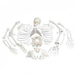 Esqueleto Completo y desarticulado con cráneo de 3 piezas