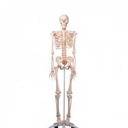 Esqueleto de lujo Fred en soporte de 5 patas con ruedas