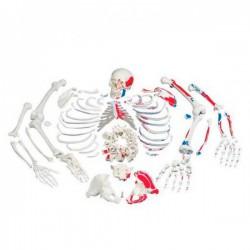 Esqueleto con descripción de musculos, desarticulado