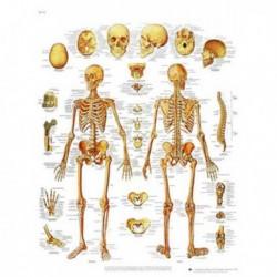 Lamina El Esqueleto Humano