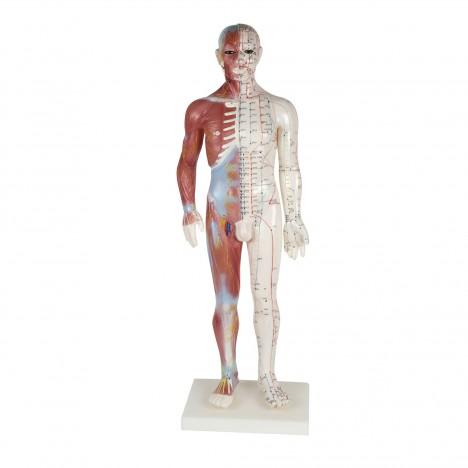 Cuerpo humano masculino 60 cm