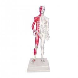Modelo de cuerpo humano 85 cm