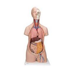 Torso clásico asexuado, 12 partes - 3B Smart Anatomy