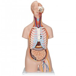 Torso clásico asexuado, 16 partes - 3B Smart Anatomy