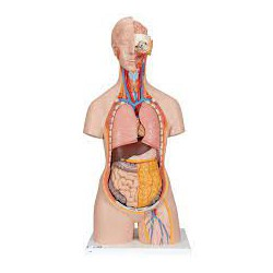 Torso clásico con espalda abierta, 18 partes - 3B Smart Anatomy