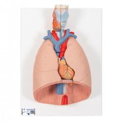 Modelo del pulmón, 7 piezas - 3B Smart Anatomy