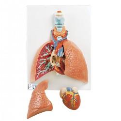 Modelo del pulmón, 5 piezas - 3B Smart Anatomy