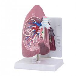Modelo de pulmón