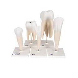 Serie de modelos dentales , 5 modelos - 3B Smart Anatomy
