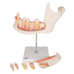 Mitad de la mandíbula inferior, 3 veces su tamaño natural, 6 piezas - 3B Smart Anatomy