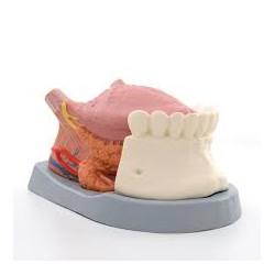 Modelo de la lengua, 4 piezas - 3B Smart Anatomy