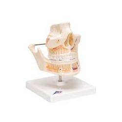 Dentadura de adulto - 3B Smart Anatomy