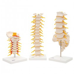 Modelos Anatomicos de Vértebras