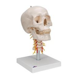 Cráneo clásico sobre columna cervical, 4 partes - 3B Smart Anatomy