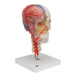 BONElike™ Cráneo – Cráneo didáctico de lujo, 7 partes - 3B Smart Anatomy