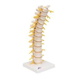 Columna dorsal - 3B Smart Anatomy