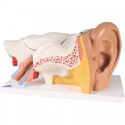Oído, 3 veces su tamaño natural, 4 piezas - 3B Smart Anatomy