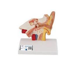 Modelo del oído para el escritorio, 1,5 veces su tamaño natural - 3B Smart Anatomy