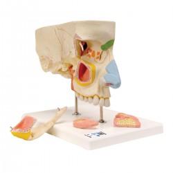 Nariz con cavidades paranasales, dividida en 5 partes - 3B Smart Anatomy