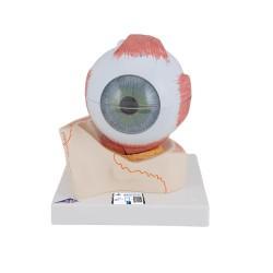 Ojo, 5 veces el tamaño natural, 7 piezas - 3B Smart Anatomy