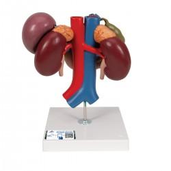 Riñones con órganos posteriores del abdomen superior, de 3 piezas - 3B Smart Anatomy