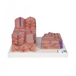 3B MICROanatomy™ Hígado - 3B Smart Anatomy