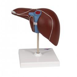 Hígado con vesícula biliar - 3B Smart Anatomy